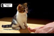 Cute Kitten wants to become a manicurist  Funny Cats