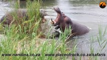 Hippos Fighting for Dominance - Latest Sightings Pty Ltd