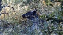 Spot it - Hyena - Kruger Sightings - Latest Sightings Pty Ltd