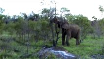 Kruger Sightings - Elephant Pulling A Tree Out - 6 December 2011 - Latest Sightings Pty Ltd