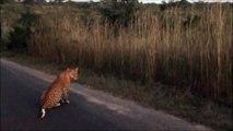 2 Leopards Together - 27 April 2012 - Kruger Sightings - Latest Sightings Pty Ltd