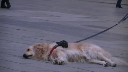 Ce chien écoute la musique et ne veut plus partir...