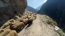 Quand tu croises un troupeau de mouton sur la route la plus dangereuse du monde.. Chaud