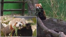The Search Continues For An Endangered Missing Red Panda From Zoo