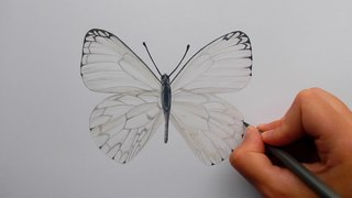Drawing a light grey Butterfly with colored pencil