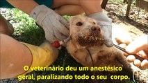 Porco espinho briga com cachorro (Ataque animal)