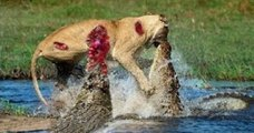 crocodile attack lion - Lion vs bull Elephant Crocodile vs Elephant Lion vs Hyena Male lion attack Animal Victims Fight
