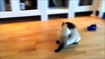 Videos De Risa De Gatos Videos Chistosos Gatos Para Morirse De La Risa