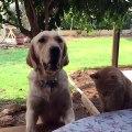 Ce chat vole une frite au chien mais il va le regretter!