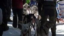 Etats-Unis : des chiens de traîneau parcourent 600 km en quatre jours