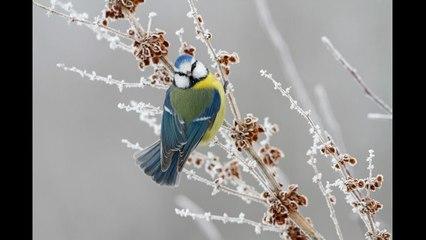 oiseaux_givre
