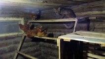 Fox in chicken coop. Лиса в курятнике