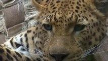 Léopards : protection de l'environnement et pratiques religieuses
