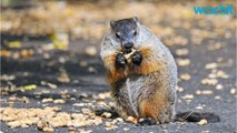 In Honor Of Groundhog Day, 9 Things To Know About Groundhogs