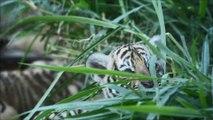 Salvador: des tigres du Bengale, 45 jours apres leur naissance