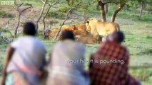 Man vs Lions. Maasai Men Stealing Lions Food Without a Fight.