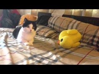 Theycallmemeaow - วิธีทำให้แมวส่ายตูดดุ๊กดิ๊ก [How to train your cat to wiggle!]