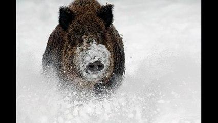 Sangliers dans la neige