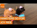 Pair of Adorable Guinea Pigs Go for Joyride