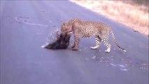 Animales salvajes - Los ataques de animales salvajes, puerco espín, jaguares, leones