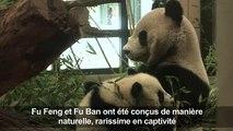 Les pandas jumeaux du zoo de Vienne fêtent leur six mois