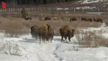 Absents depuis un siècle, des bisons sont réintroduits dans un parc canadien