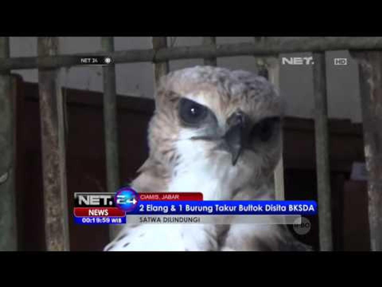 2 Elang Dan 1 Burung Takur Bultok Disita Bksd Ciamis Net24 Video Dailymotion