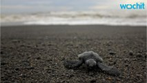 Hot nests, not vanishing males, are bigger sea turtle threat
