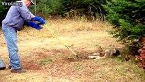 Regardez comment ils font pour sauver ce loup piégé