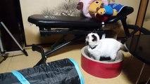 Gatos brincando com kotatsu