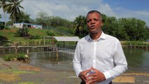 La réintroduction du Lamentin dans les eaux des Antilles est un programme unique au monde