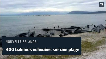 400 baleines s'échouent sur une plage en Nouvelle-Zélande