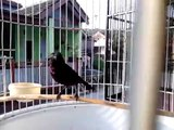 Kolibri Ninja rasa Cililin by dion.nisius KNI