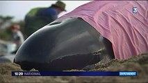 Nouvelle-Zélande : Toujours pas d'explication scientifique pour les baleines échouées !