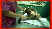 Top 5 CATS Who HATE THE VET! (Kitties Gone Pyscho On Veterinarians & Mad Cat Freakouts)-f4oGaqHrHd4