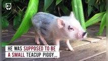 Quand petit cochon devient gros cochon