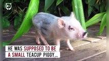 Ce cochon est devenu trop gros mais il le garde