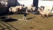 Quand une brebis met en panique un troupeau de mouton