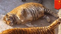 Fat tigers in Chinese zoo anger animal rights activists