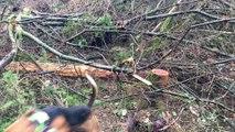 Ferme sur sanglier des beagles et beagles harriers de l'Echo de Soulije