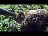 Video wild boar hunting – shot 1 wild boar 91kg