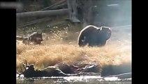 Cet ours vient voler le repas d'une meute de loups !