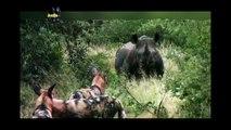 Cães Selvagens Vs Rinocerontes, Guepardo Atacando Guinus, Guepardo Vs Guinus, Animais selvagens atacando, Animals, Confr