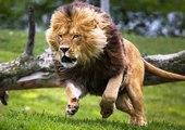 Incrível Ataque de Leão a Guinu, Leão Vs Guinu, Animais selvagens atacando, Animals, Confrontos animais, Serpentes
