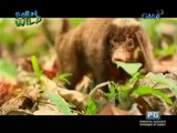 Doc Nielsen encounters the Palawan stink badger or 'pantot' | Born to be Wild