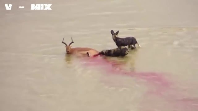 Amazing - hyenas eat deer alive - Lions eat buffalo