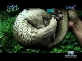 Doc Nielsen exposes the illegal pangolin trade | Born to be Wild