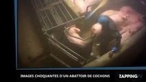 L214 : Nouvelles images chocs dans un abattoir de cochons