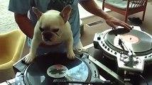 Ce chien fait du DJing sur une platine Vinyle lol
