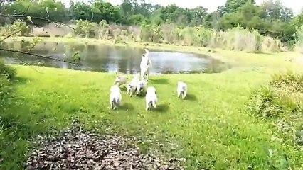 Un papa Labrador enseigne aux chiots à nager !